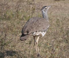 cory bustard by jynto