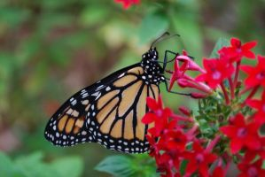 Monarch Butterfly Stock 10 by chamberstock