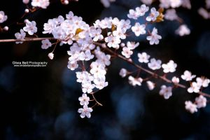 Blossom Makes Me Smile Day 227 by escaped-emotions