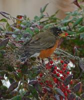 Robin with Ice berry 2-12-14 by Tailgun2009