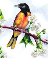 Oriole by ScarlettRoyale