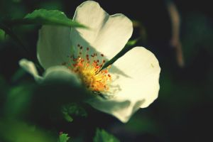 dog rose V by xmagdax