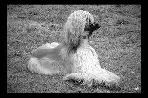 Spirit - Afghan Hound by Coquin