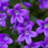 Purple Stars by larksgar