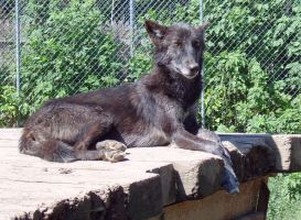 black wolf youngster by MrKorra