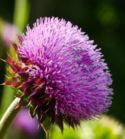 Thistle Flower-3 by texasghost
