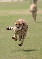 Cheetah Hover by Jack-13