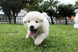 here comes Memo! samoyed-retriever by IJPhotography