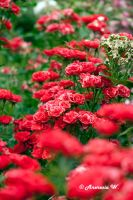 There is red in my garden... by aneresia