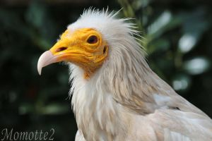 Portrait of Egyptian vulture by Momotte2
