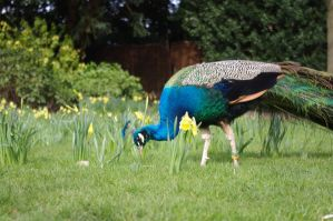 Peacock with a daffodil by maximusmountain