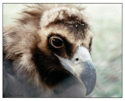 vulture by Phototubby