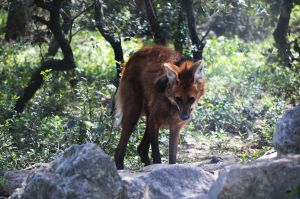 Maned Wolf by N0XATI