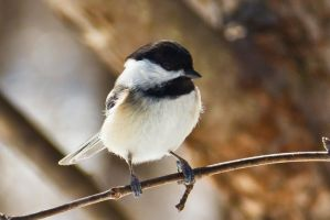 Black-capped Chickadee by AdamBrownPhoto
