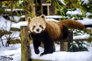 Red Panda into the snow by StudioTamago