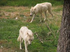 White Wolves Stock by SprenklePhotography