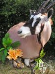 Gemsbok Wall Pedestal 2 by AutumnCreekTaxidermy