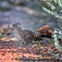 Road Runner at Rest by clippercarrillo