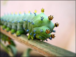 Cecropia moth larva - 5 by J-Y-M