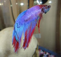 Hyde the Betta by me-and-mojo