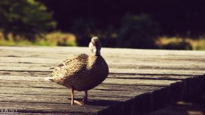 duck by Rainyphoto