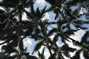 Palm Trees against the Sky by tangeloskye