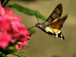 Macroglossum stellatarum 1 by blackasmodeus