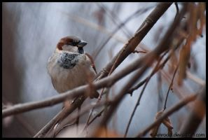 Rare Sparrow by amrodel