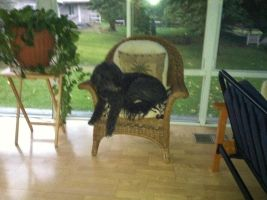 my dog laying in the chair by mydogbridget