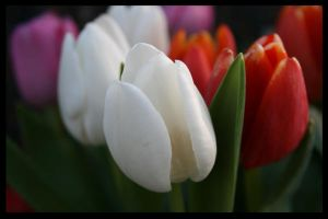 Tulips by TracesORed
