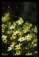 Contrast Yellow by lynsea