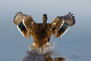 Duck Landing 2 by bovey-photo