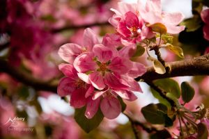 Crab Apple Flower by Nebey