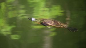 Painted Turtle Swimming by fractalfiend