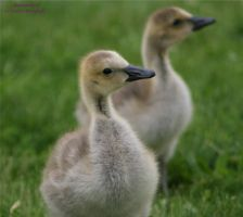 Curious  Goslings by panda69680102