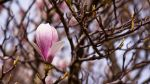 Magnolia series III by Bozack