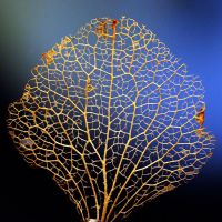 golden leaf by augenweide