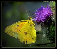 Another Cloudless Sulphur by boron