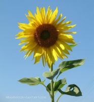 sunflower by mbamboo