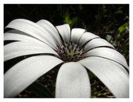 white flower by Etherick