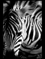 Zebra by bluewhale13