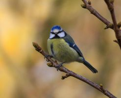 Blue Tit by Somnp