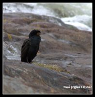 Double-Crested Cormorant by SlateGray