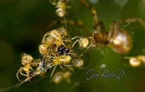 Baby spiders feeding by otas32