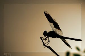 Dragonfly. by pleautaud