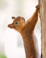 Red Squirrel by ArkanumTenebrae