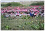 lotus forest No. 6 by areefeen