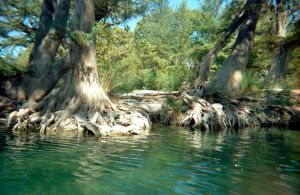 Frio Riverbank Trees W Roots by lamorth-the-seeker