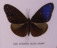 striped blue crow butterfly by Alegion-stock