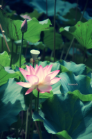 Lotus by fiammanda